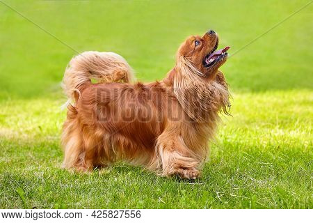 Brown Cocker Spaniel In The Summer In The City Park On The Green Grass.