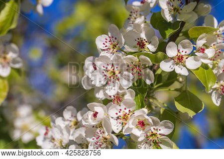Sprig Of White Flowers Blooms On A Pear Tree Against A Blue Sky