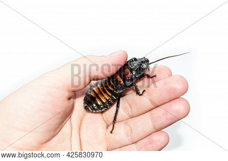 Beautiful Huge Madagascar Hissing Cockroach Crawls On Human Hand