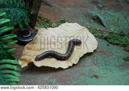 A Myriapoda, Millipede Crawling On A Leaf, Exotic Pet Insect
