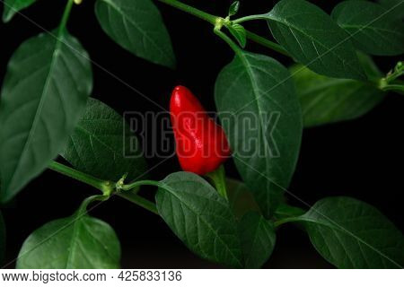 Red Chili Peppers On A Branch On A Black Background. Ripe Chili Peppers Among Green Leaves.