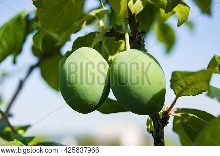 Unripe Apricot. Apricot Tree. There Are Fruits On The Branch. Green Berries Against The Sky.