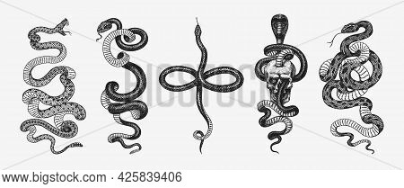 Set Of Snakes. Pythonidae Or Python. Boinae Or Boas Or Boids. Eastern Racer Or Coluber Constrictor.