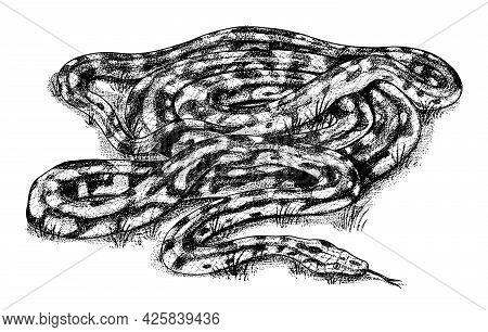 Pythonidae Or Python. Boinae Or Boas Or Boids. Nonvenomous Snake Reptilia Illustration. Engraved Han