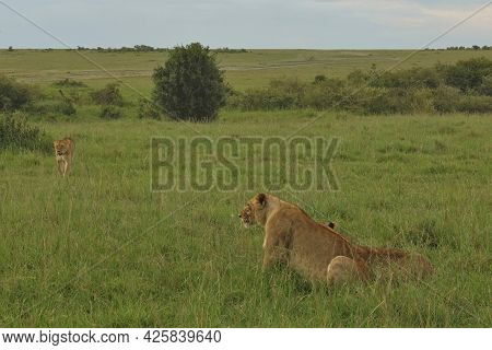 Wild Lions Rest In The African Savannah. Animals Sit And Walk In The Green Grass. Summer Day. Kenya.