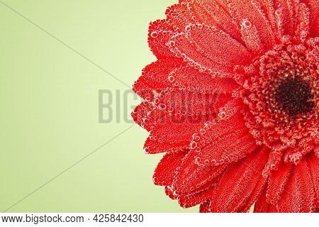 Macrophotography. Gerbera In The Dew. Background With Copy Space. Selective Focus.