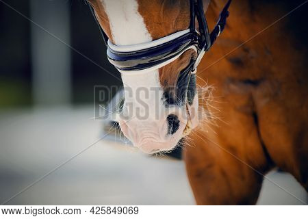 Nose Sports Horse In The Bridle. Portrait Stallion  In The Double Bridle. Horse Muzzle Close Up. Dre