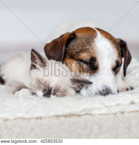 Cat and dog sleeping together. Dog and small gray kitten on white blanket at home