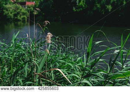Kovyl On The Lake. Green Tall Grass Against A Water. Beautiful Landscape In Summer. Scenic View Of L