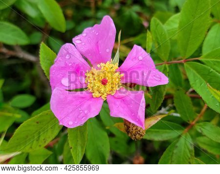 Close Up Of Pink Wild Rose Flower With Dew Drops