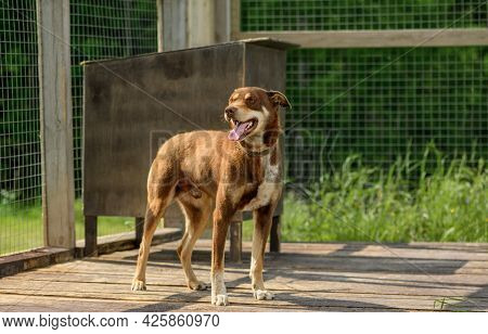 Happy Red Dog Is Standing In Its Outdoor Enclosure.