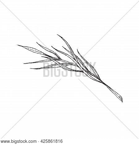 Branch With Elongated Leaves By Hand, Engraving Vector Illustration Isolated.