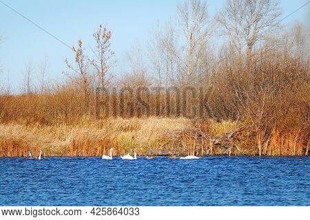 A Flock Of Swans Swims On Autumn Lake