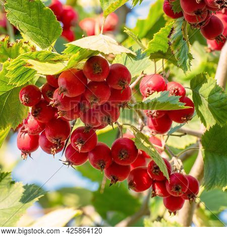Red Ripe Hawthorn Berries On The Branches In The Garden In The Sunlight