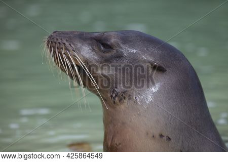 Closeup Side On Portrait Of Galapagos Fur Seal (arctocephalus Galapagoensis) With Head Sticking Out
