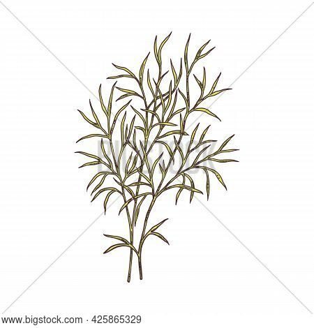 Branch Of Zira Or Cumin Plant, Engraving Vector Illustration Isolated.