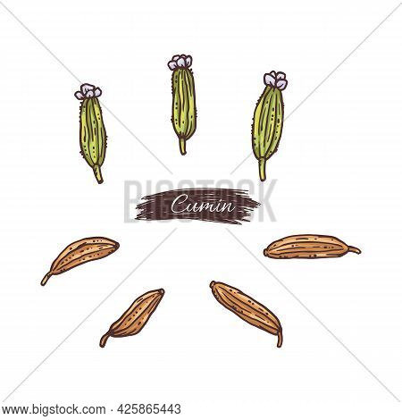 Cumin Seeds And Flower Pods, Engraving Vector Illustration Isolated On White.