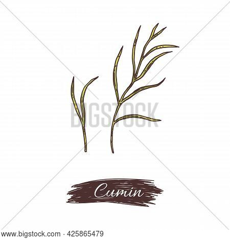 Cumin Plant Branches Collection, Engraving Style Vector Illustration Isolated.