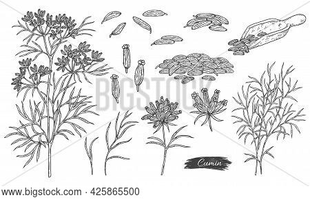 Bundle Of Caraway Or Cumin Plant Parts, Engraving Vector Illustration Isolated.
