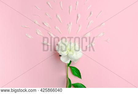 White Peony And Peony Petals On A Pink Background. Sperm Approaching Egg Cell Concept