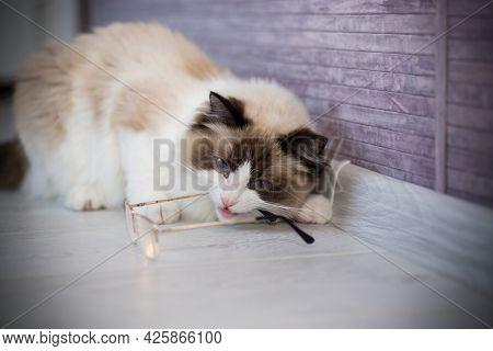 Young Beautiful Purebred Ragdoll Cat At Home