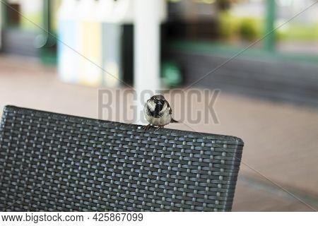 Sparrow On The Back Of A Chair. The Sparrow Looks At The Camera. Bird, Gray Sparrow On The Back Of A