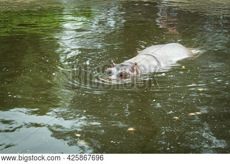 A Wild And Aggressive Hippopotamus Is Swimming In The Water. A Large Hippopotamus Lurks In The River