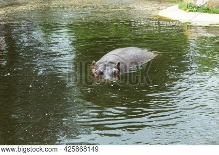 A Wild, Adult Hippopotamus Swims In The Water. Large Hippopotamus Chilling In The River