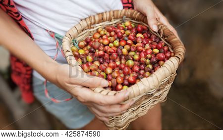 Basket With Red Ripe Coffee Beans In A Hads Of Coffee Picker At Coffee Plantation In Colombia. Green