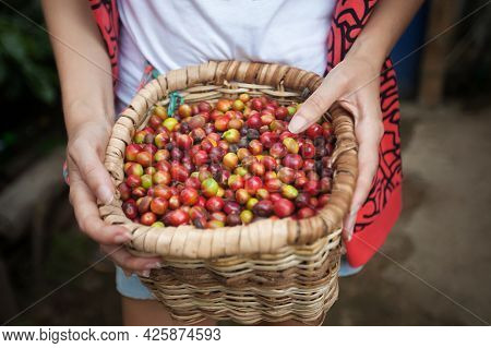 Full Wicker Basket With Red Ripe Coffee Beans In A Hads Of Coffee Picker At Coffee Plantation In Col