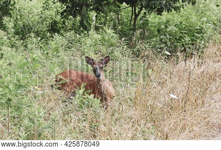 Young Male Deer/buck Seen During A Hike In Tennessee