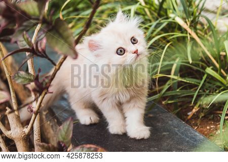 The Persian Kitten With Blue Eyes In A Nature
