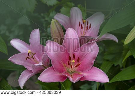 Beautiful Pink Lily Flowers In The Summer Garden. Lily Lilium Hybrids Flower.