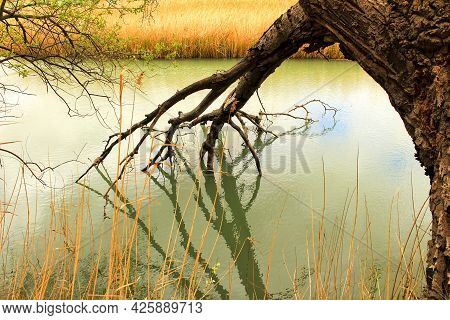 Tree With Roots In The Water And Reflections In The Cabriel River In Spain