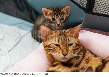 Bengal Cat With Her Little Kittens Laying On The Pillow