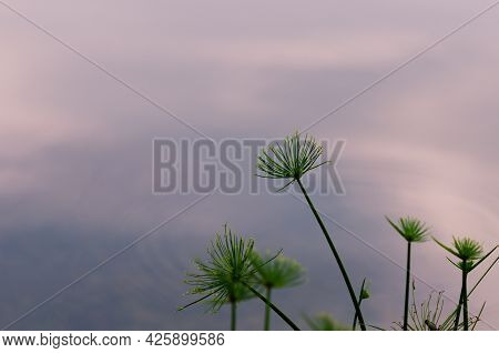 Focus And Blurred Photo Of Papyrus Plant With Background Of The Pond.
