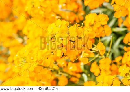 Blooming bright yellow flowers close up, may be used as background
