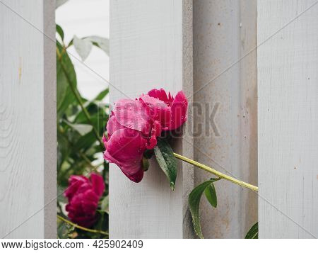 Pink Peonies In Raindrops Behind A White Wooden Fence. Flower Garden Of Peonies In The Summer Garden