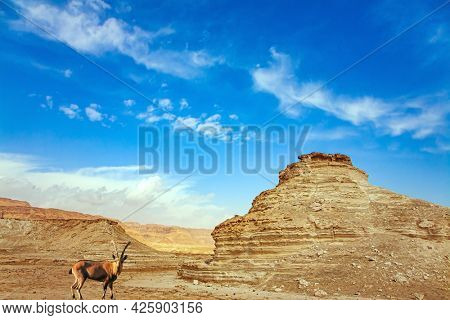 Mountain goat grazes between the hills. Israel. Ancient mountains and deserts around the Dead Sea. The Judean Desert. Magnificent exotic resort for treatment.