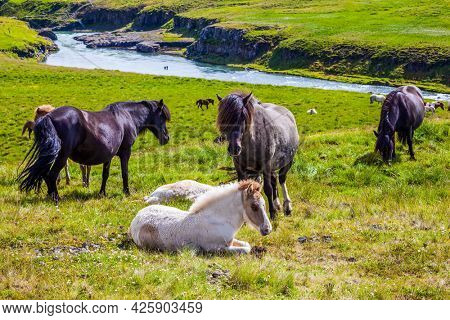 Iceland. Herd of horses. Beautiful horses of a unique Icelandic breed. Golden summer sunset in Icelandic tundra. Only one breed of horse lives in Iceland. Ecological and photo tourism concept