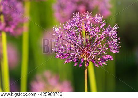 Close-up Of The Inflorescence Of The Rosenbachian Onion, Allium Rosenbachianum, Blooming In The Gard