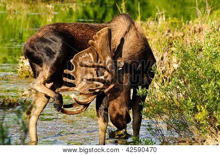 Bull Moose In A Marsh