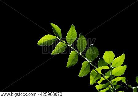 Close up shot of curry leaves on black background