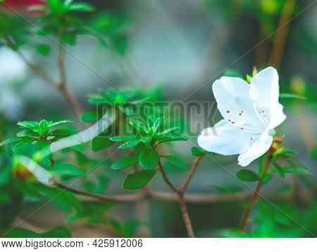 The Beautiful Spring Or Summer Background Of The White Azalea Flowers In Full Bloom With The Space F