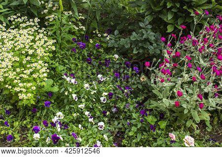 Colorful Mix Color Lantana Camara Flower Blossom Shrub In Garden.