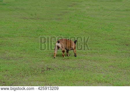 A Dog Of The French Bulldog Breed Walks In The Distance In The Green Grass. Decorative Brown Female