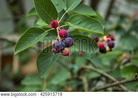 Blueberry Is Color Purple On The Branch.