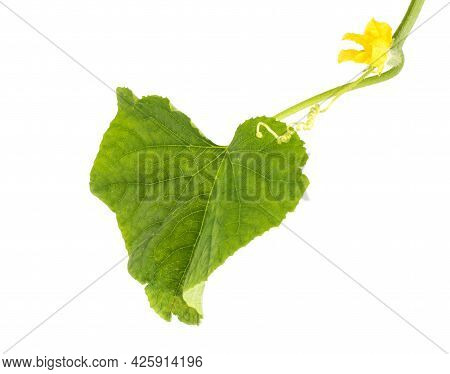 Cucumber Stalk With Cucumber Tops And Small Cucumber On White Background, Isolate, Production