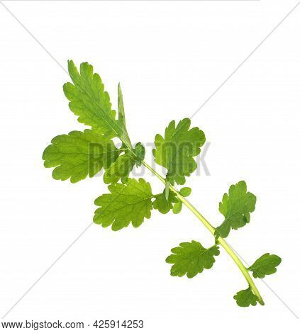 Leaves And A Branch Of A Medicinal Plant Celandine On A White Background, Isolate.