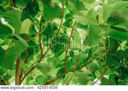 Leaves Teak Tree (tectona Grandis L.f.) With Sunlight. View From Below Of Tree. Nature Background.